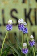 2色咲きムスカリ『タッチオブスノー』 ※4球植え