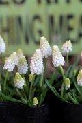 白花ムスカリ『ホワイトマジック』 ※5球植え
