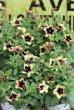 画像1: 変わり咲き 栄養系ペチュニア 『ヨコハマトワイライト』 (1)