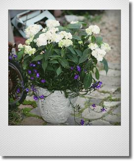 画像1: 【送料込み!!】 母の日の寄せ植え * 山アジサイ 白扇 *