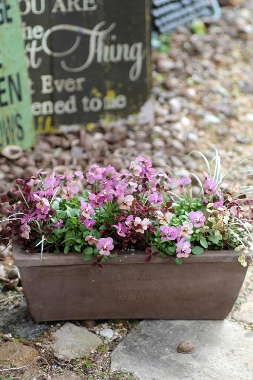 画像1: 【送料無料!!】 冬から春を楽しむ寄せ植え『タンゴアモーレ&見元クローバー』 ※1/24写真撮り直しました