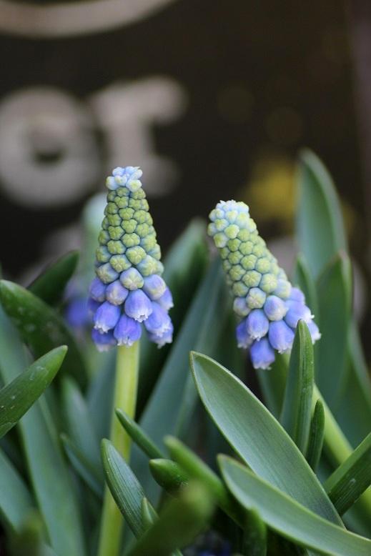 画像4: 2色咲きムスカリ『タッチオブスノー』 ※4球植え
