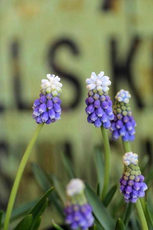 画像3: 2色咲きムスカリ『タッチオブスノー』 ※4球植え