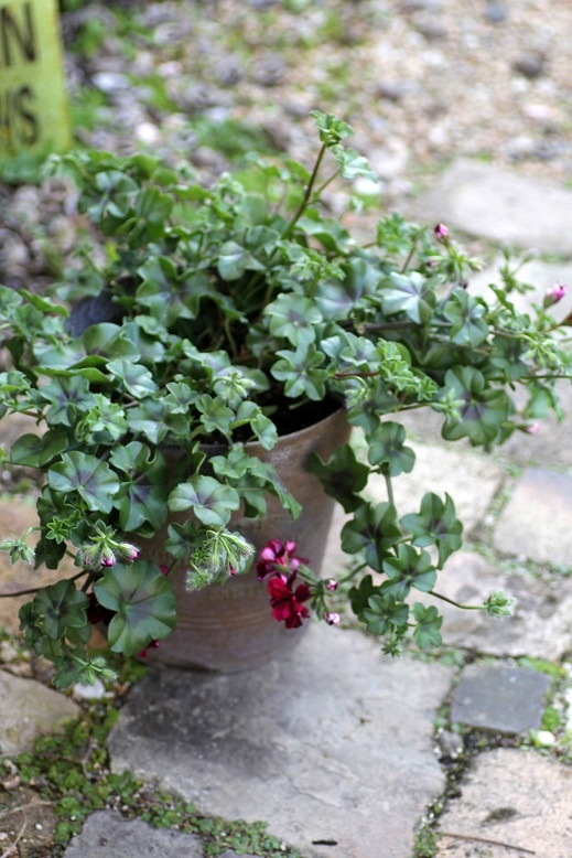 画像3: 【送料無料!!】 シンプルに楽しむ春の寄せ植え『トムキャット』
