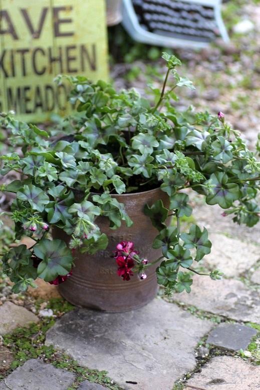 画像2: 【送料無料!!】 シンプルに楽しむ春の寄せ植え『トムキャット』