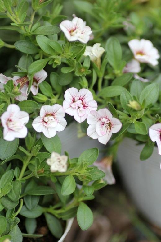 画像1: 八重咲きカリブラコア 『スイートクリンゲル』 *パール*