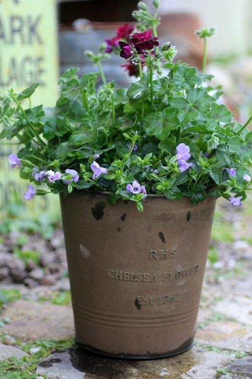 画像2: 【送料無料!!】 シンプルに楽しむ春の寄せ植え『トミーとブルーリバー』