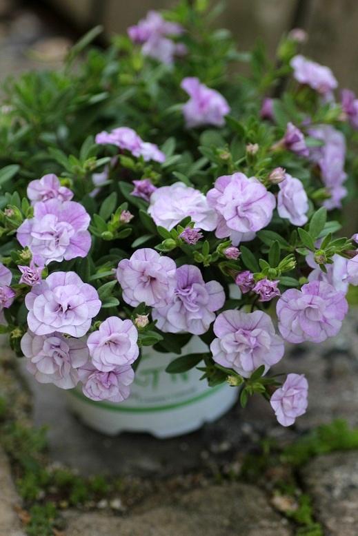 画像4: 2016NEW!! 八重咲きカリブラコア 『ペティ アイスバーグ』 *11センチポット