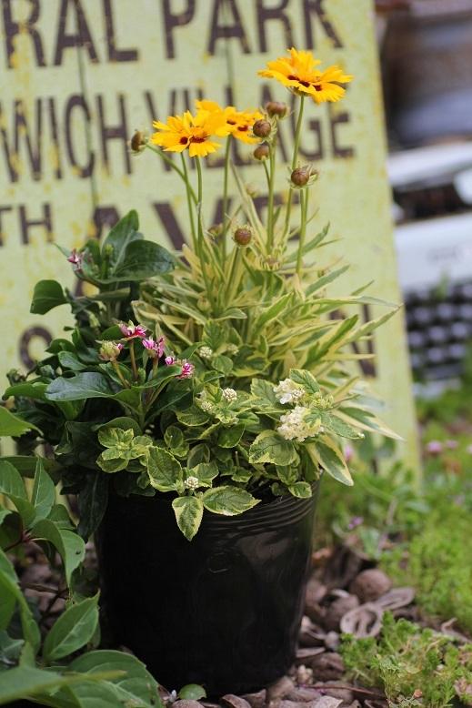 画像2: 初夏の寄せ植え *5号* 『斑入りで涼しく♪』