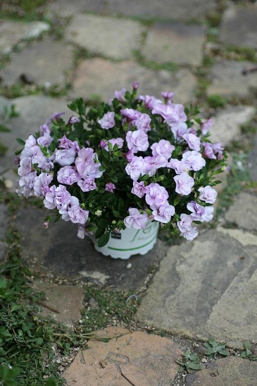 画像1: 2016NEW!! 八重咲きカリブラコア 『ペティ アイスバーグ』 *11センチポット