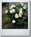 春の寄せ植え 『ミニバラグリーンアイス』