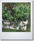 夏の寄せ植え 『アンゲロニア&観賞用トウガラシ』