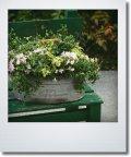ブリキに初夏の寄せ植え 『ミニチュニア』