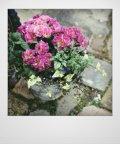 花束みたいな寄せ植え 『プリムラ パロマ』 *ピンク*
