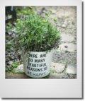 【送料込み!!】春の寄せ植え『ガイラルディアピンクスパーク』