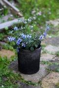 夏の寄せ植え 『クレロデンドルムブルーウィング』