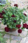 【送料無料!!】 母の日に♪ シンプルに楽しむ春の寄せ植え『トムキャット』