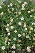 画像1: 花色が変化する 『エリゲロン』  (1)