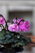 フリンジがかわいい ガーデンシクラメン『ベリッシマ』 ★1点もの ver.2★