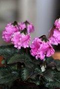 フリンジがかわいい ガーデンシクラメン『ベリッシマ』 ★1点もの ver.1★