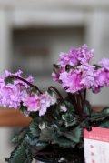 フリンジがかわいい ガーデンシクラメン『ベリッシマ』 ★1点もの ver.3★