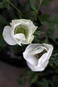 シングル咲きアネモネ *ホワイト*