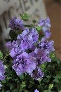 八重咲きペチュニア パニエ 『ライトブルー』