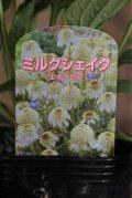 八重咲きエキナセア『ミルクシェイク』 *4号*