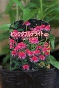 八重咲きエキナセア『ピンクダブルデライト』 *4号*