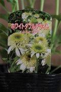 八重咲きエキナセア『ホワイトダブルデライト』 *4号*