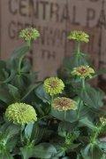 八重咲きジニアクイーン『ライムブロッチ』