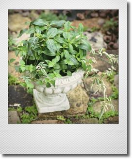 画像1: これからもりもりして楽しめる 『夏の寄せ植え♪』