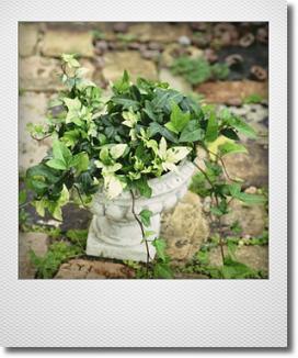 画像1: ヘデラの寄せ植え