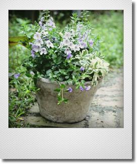 画像1: 涼しげな夏の寄せ植え♪ 『アンゲロニア』