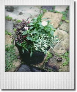 画像1: これからもりもりして楽しめる 『夏の寄せ植え♪』 *No.1*
