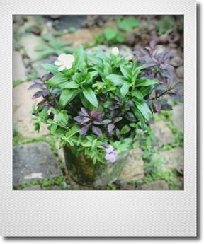 画像1: 【送料無料!!】 これからもりもりして楽しめる 『夏の寄せ植え♪』 *No.1*