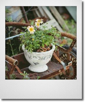 画像1: 【鉢にカケあり】 朝倉オリジナルビデンスの寄せ植え 『月虹&紅花火』 *B*