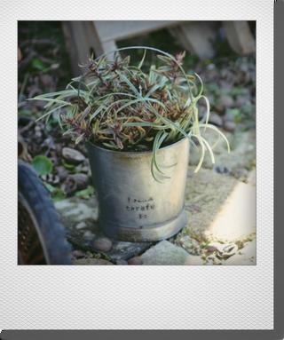 画像1: ヘーベのシンプルな寄せ植え