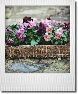 画像1: ビオラの寄せ植え『春爛漫』