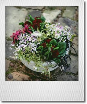 画像1: 【送料込み!!】 春の寄せ植え『ベラリーナとアリッサム』