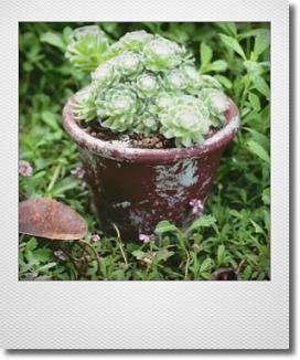 画像1: maako'sペイント缶に寄せ植え 『マキギヌ』 *ブラウン*