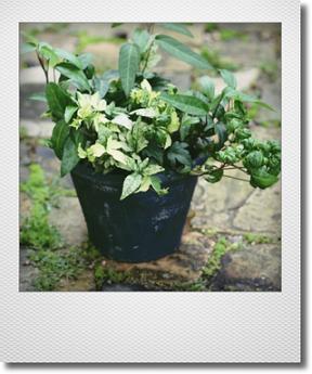 画像1: 【送料無料!!】 maako'sペイント鉢に寄せ植え 『廣野園芸さんのヘデラいろいろ』 *ブルー*