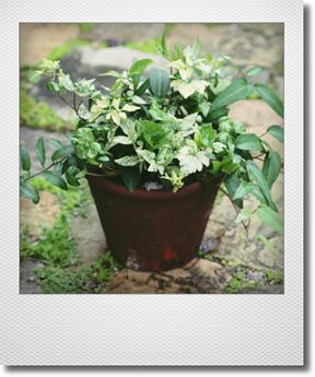画像1: 【送料無料!!】 maako'sペイント鉢に寄せ植え 『廣野園芸さんのヘデラいろいろ』 *ブラウン*