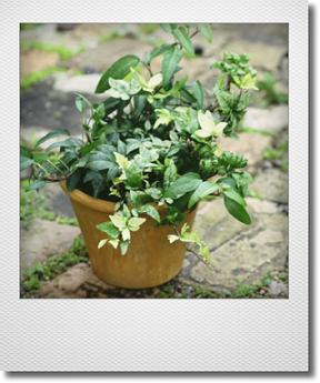 画像1: 【送料無料!!】 maako'sペイント鉢に寄せ植え 『廣野園芸さんのヘデラいろいろ』 *イエロー*