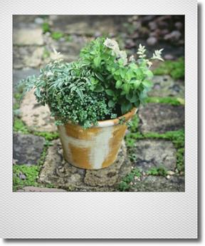 画像1: maako'sペイント鉢に寄せ植え 『ペチュニア イエローベージュ』 *イエロー*