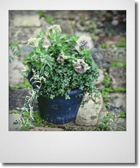 画像1: maako'sペイント鉢に寄せ植え 『ペチュニア イエローベージュ』 *ブルー*