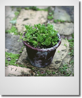 画像1: maako'sペイント鉢に寄せ植え 『玄海岩蓮華』 *ブラウン*