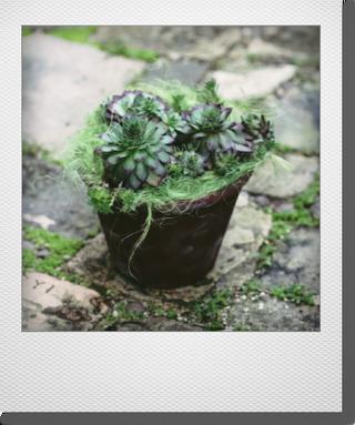 画像1: maako'sペイント鉢に寄せ植え 『センペル』 *ブラウン*