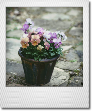 画像1: maako'sペイント鉢に寄せ植え 『ピンクアンティーク&しんしん』 *ブルー*