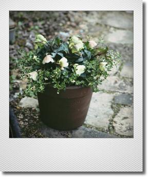 画像1: 冬から春を楽しむ寄せ植え『クリスマスローズ ウィンターベル』